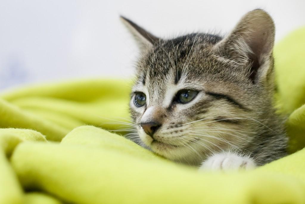 Sleepy cat wrapped in a green blanket.