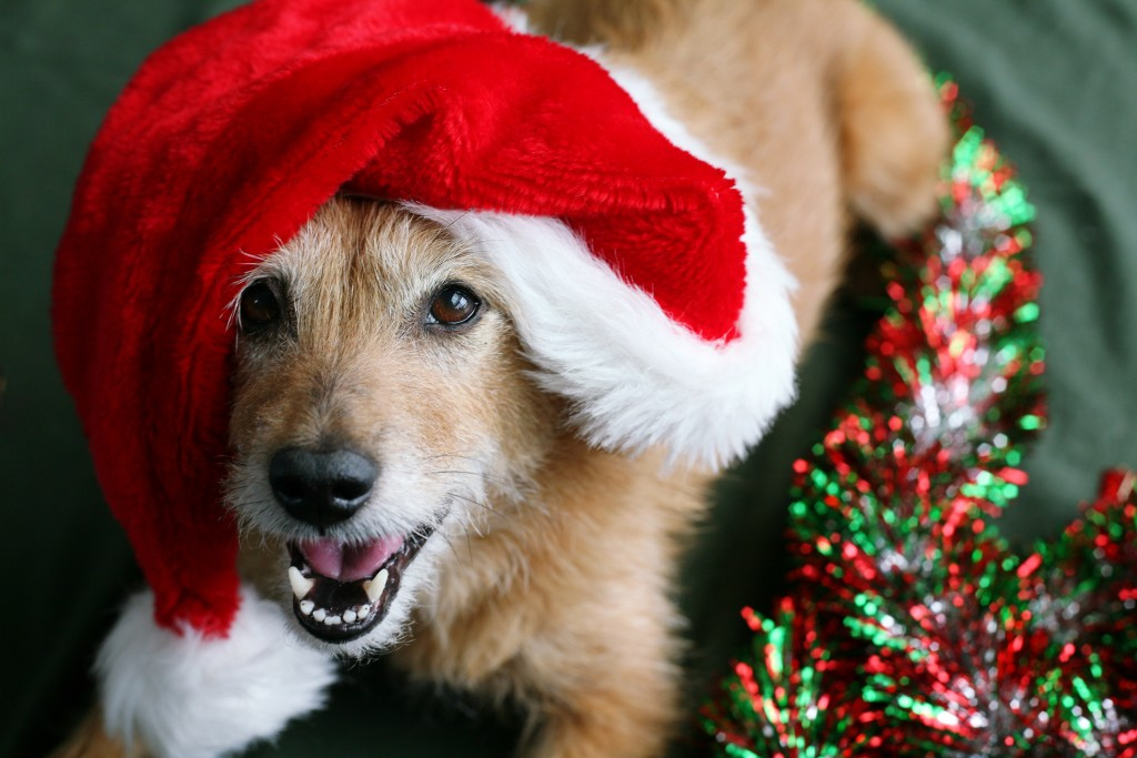 photodune-946694-dog-in-santa-hat-with-happy-grin-l