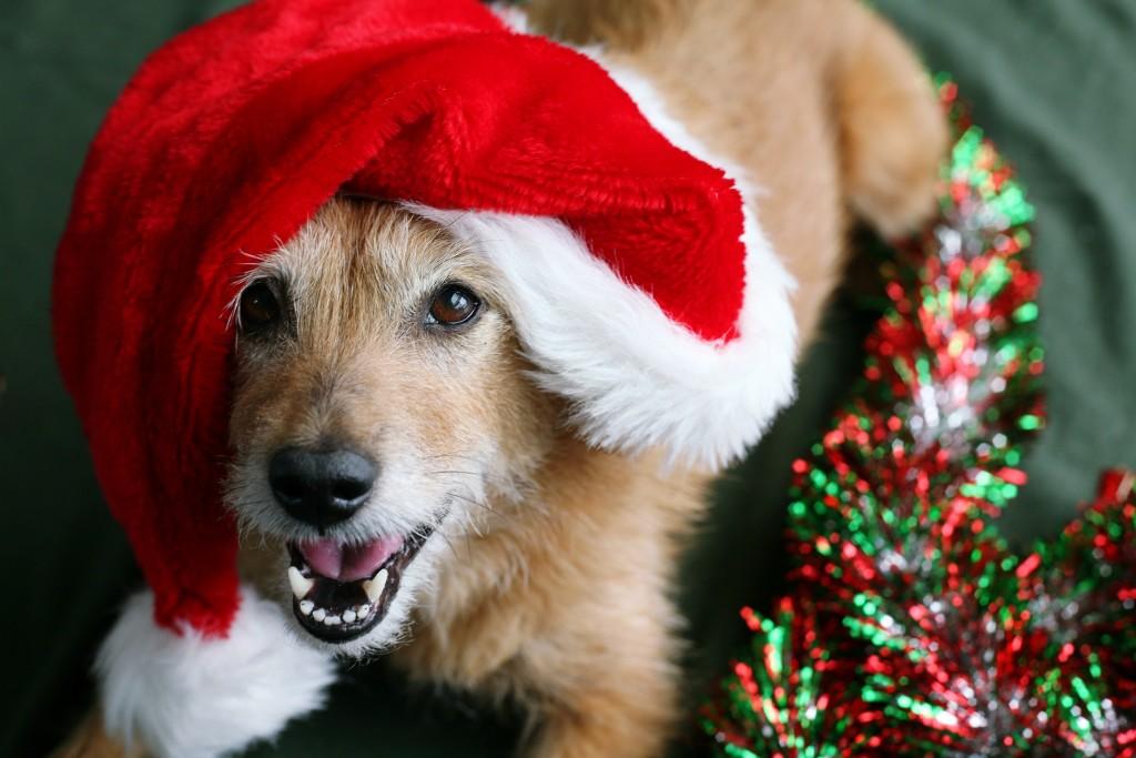 photodune-946694-dog-in-santa-hat-with-happy-grin-l